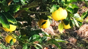 柑橘系樹木 詳細不明