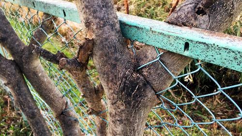 フェンスを食する木 詳細不明