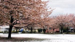 雪の桜と校庭グラウンド